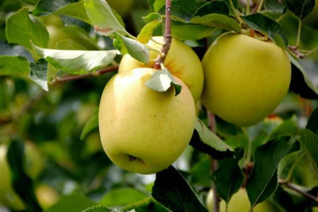 ruta manzana