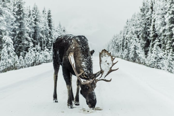 Alce. Foto: Ivars Krutainis