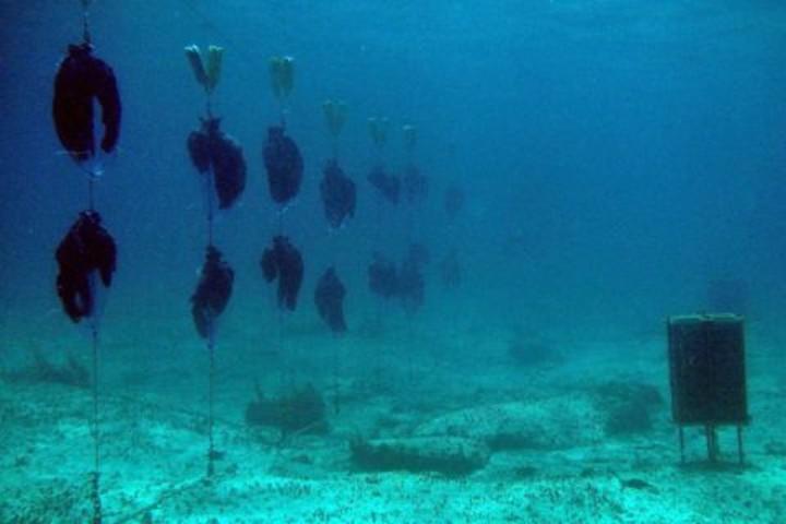 Las-perlas-de-la-Virgen-en-Cozumel-son-cultivadas-en-un-proyecto-sustentable.-Foto:-Archivo-3