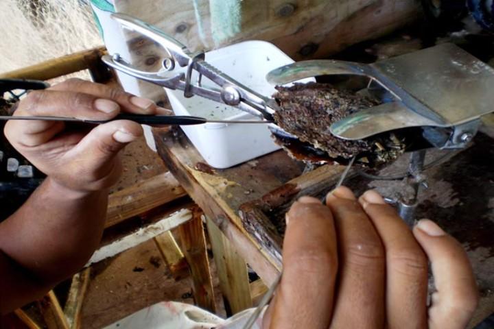 perla-cultivada-extraccion