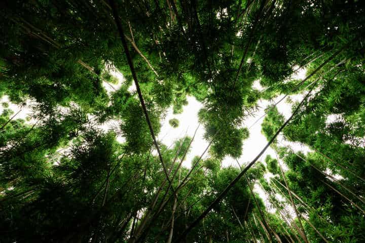 Apenas se alcanzan a colar los rayos del Sol por el grandioso tamaño de los bambúes Foto Jakob Owens
