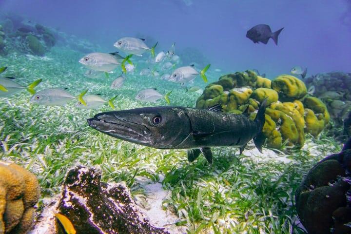 Barracuda. Foto: Wouter Naert Vacaciones en Atlantis Las Bahamas