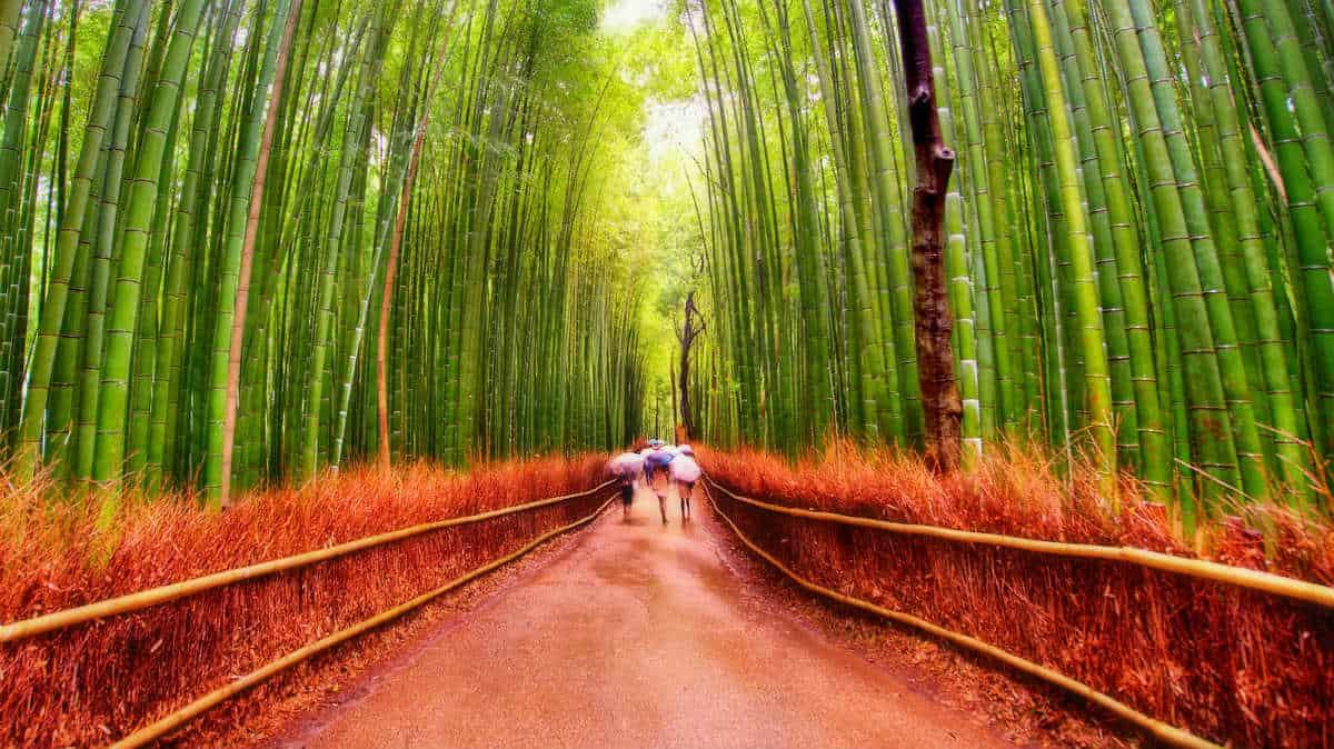 Bosque de bambú Foto Luke Zeme