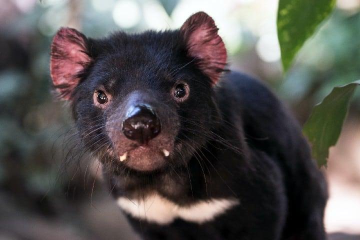 Demonio de Tasmania. Foto: David Clode Featherdale Wildlife Park Australia