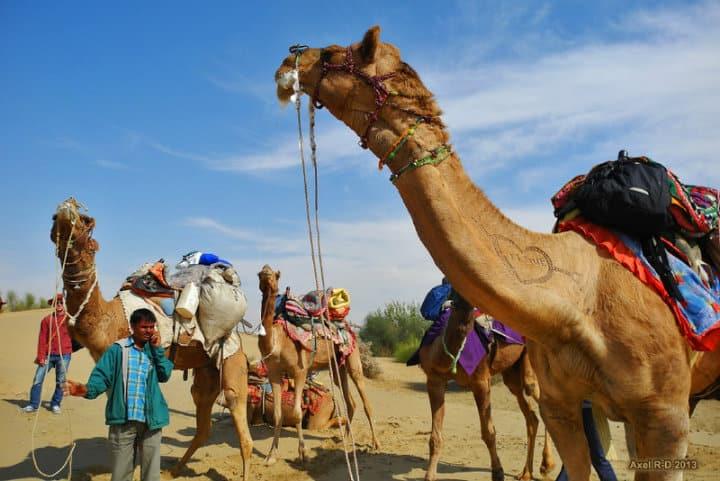 Estan bien entrenados para que des un paseo en camello en Los Cabos Foto Axel Drainville