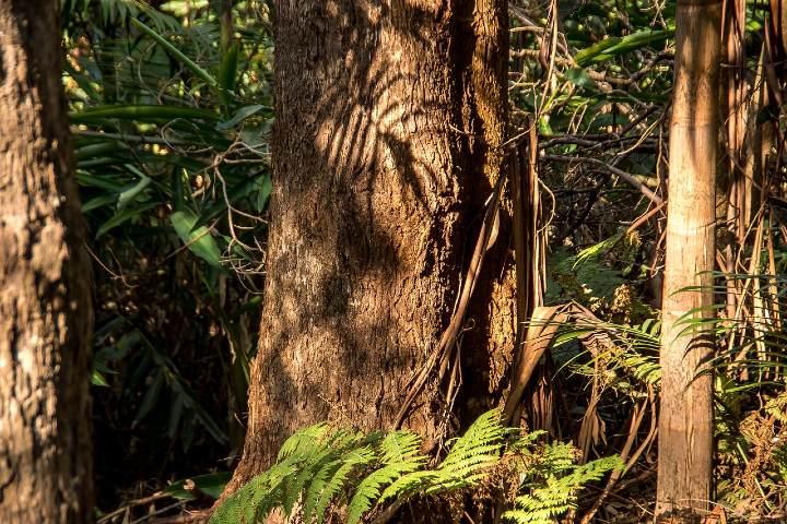 Árbol de chicle. Foto sandid