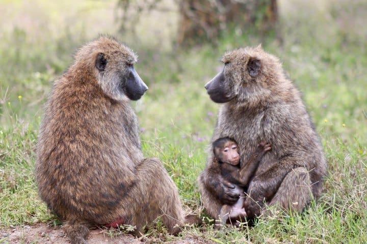 Gray monos. Foto: Jack Carter
