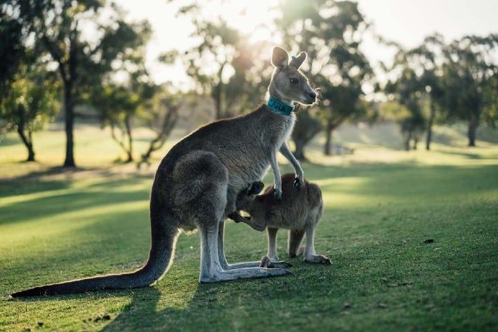 Kanguro. Foto. Archivo Featherdale Wildlife Park Australia