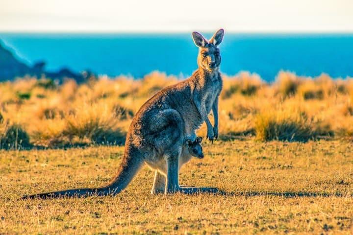 Kanguro. Foto: Ondrej Machart