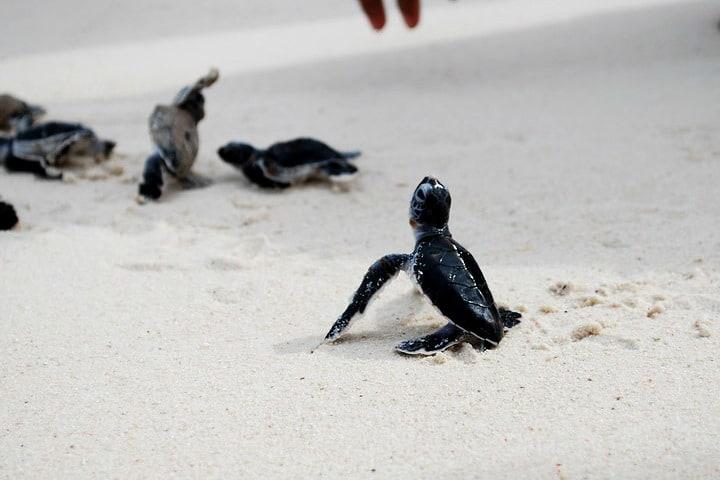 Liberación de tortugas Foto arjandijksma