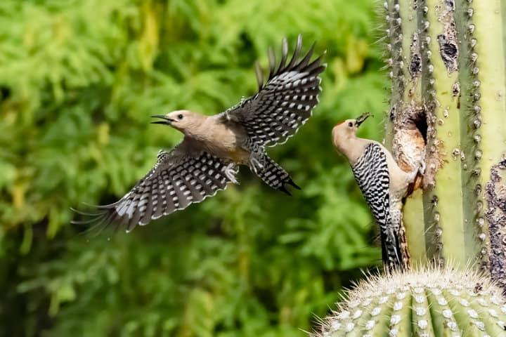 Pájaro carpintero de Gila Foto Mick Thompson
