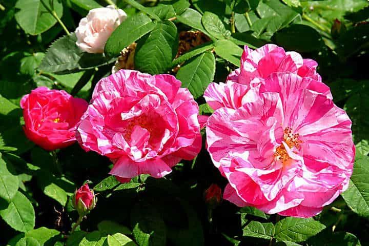 Rosas de Castilla Foto Hornbeam Arts