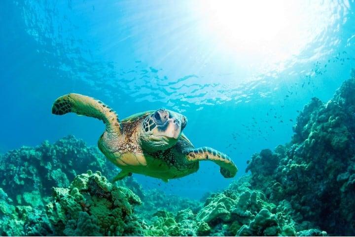 Tortuga Isla del coco. Foto: Turtle Island Restoration Network