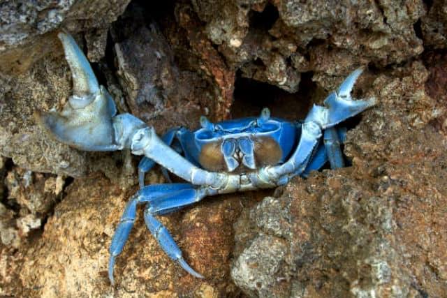 cangrejo azul01