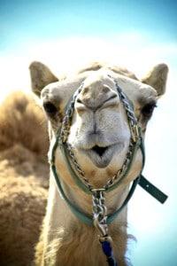 camellos loscabos02