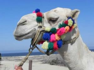 camellos loscabos05