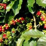 cafe nayarit02