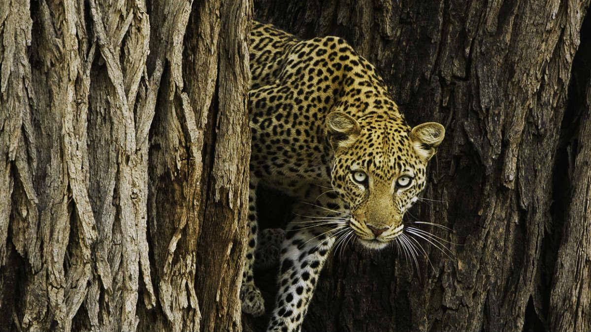 ewc-leopard-in-tree