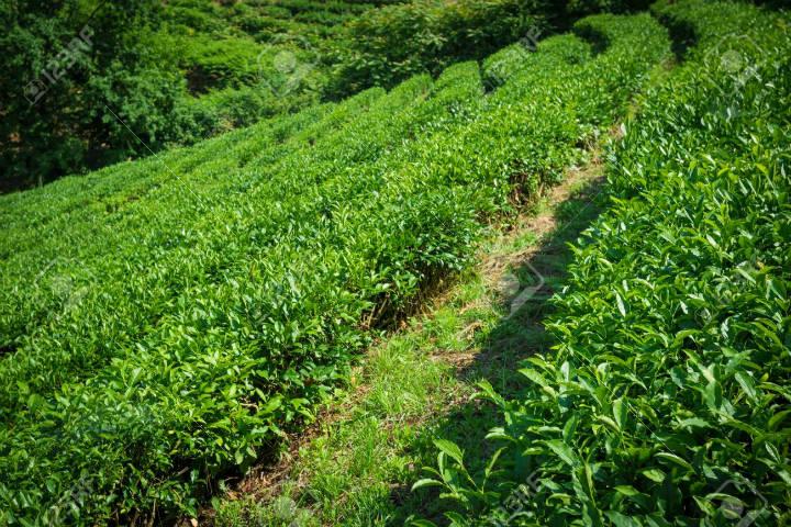 Plantaciones de té en Sochi. Foto 123RF.