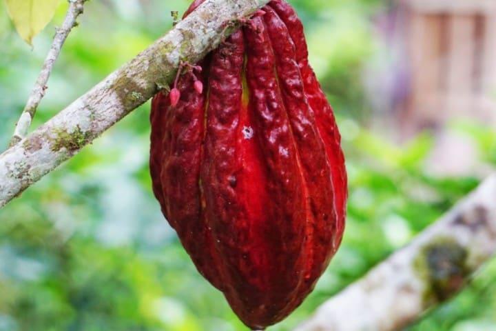 Arbol cacao. Foto: Jenni Miska