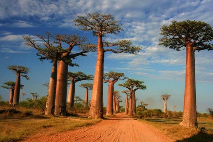 Baobabs. Foto: thetimes.com.uk
