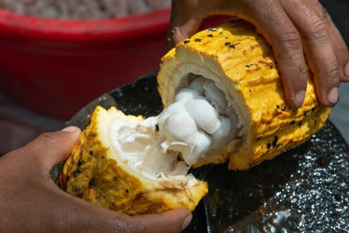 Cacao. Foto: Rodrigo Flores