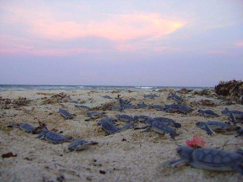 Crias de tortuga blanca. Foto Akanke Weiss