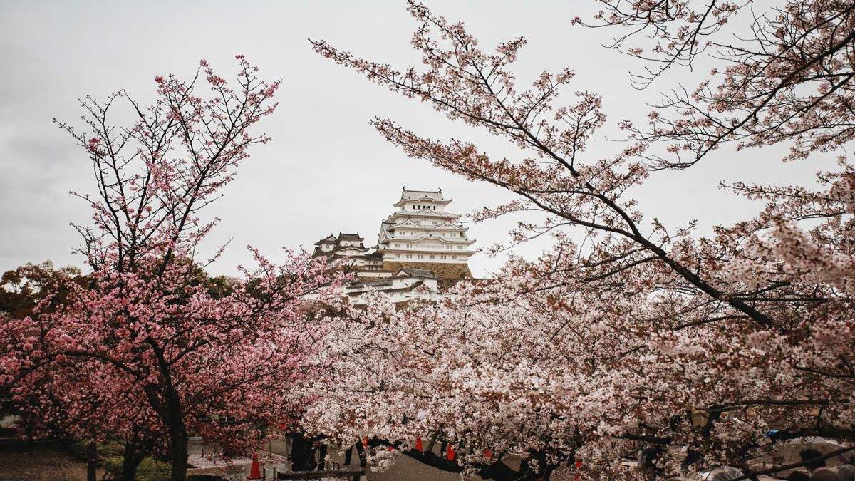 Revista Travesías Foto: Cerezos de Sapporo