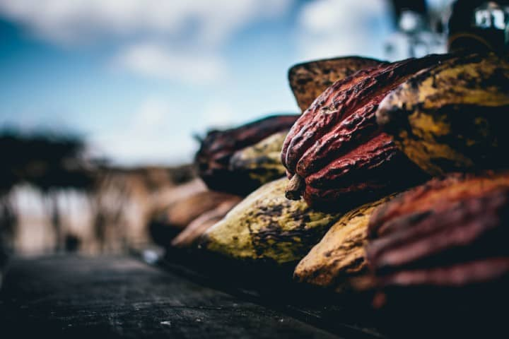 Cacao. Foto: Alexandre Brondino