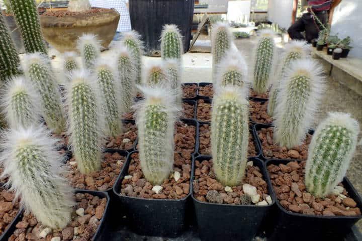 cactus los viejitos