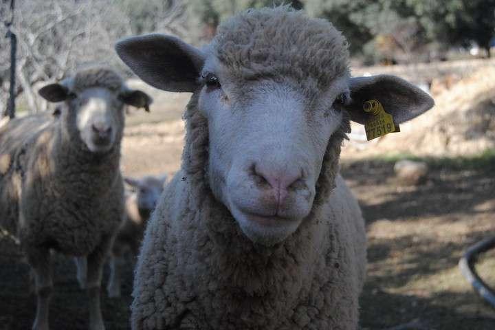queso de ovejas