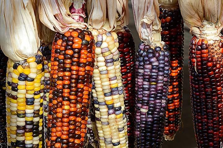 Colores del maíz. Foto: Salvador Correas