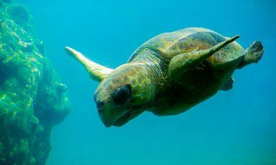 Portada Tortuga marina. Foto Laurence FUSCO