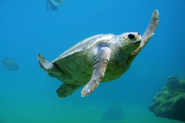 Tortuga marina. Foto Tanguy Sauvin