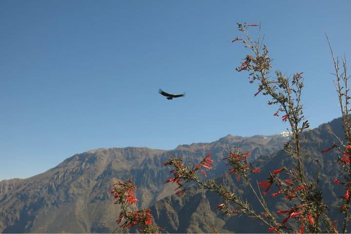 Cañón de Caolca y avistamiento del Cóndor Andino.Foto.TheusiNo.5