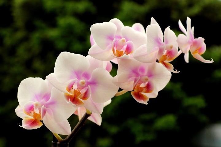 Exposición de orquídeas en New York. Foto Herbert Aust.