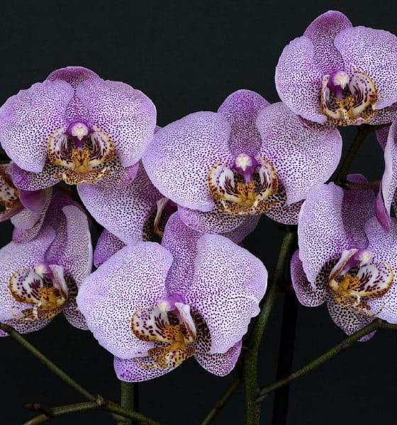 Orquídeas Foto annca