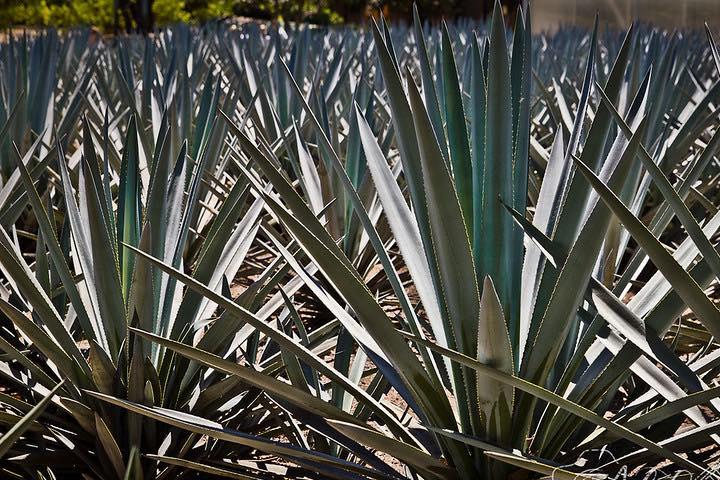 Tequila. Foto Gabriela Ramírez Càliz