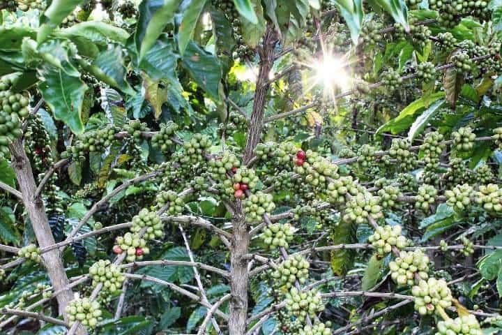 Arbol de cafe. Foto mciriaco
