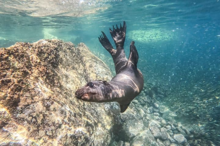Lobo Marino La Paz Baja California. Foto:  Matthew T Rader