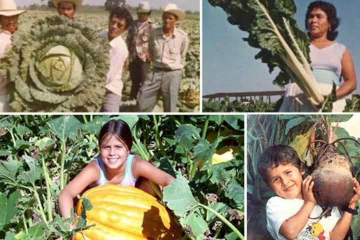 Vegetales gigantes en el Valle de Santiago relación con luminarias Foto México en Imágenes