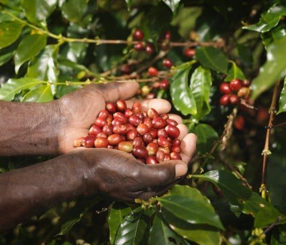 cafe-pluma-oaxaca-5-640px-480px