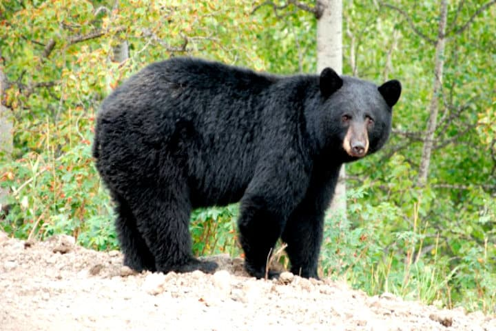 Video oso persigue a esquiadora