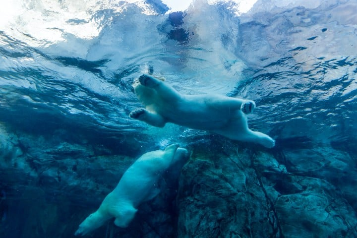 Oso Polar. Foto: Eva Blue