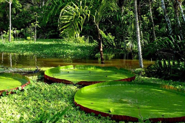 Victoria Amazonica. Foto: Milton Chávez