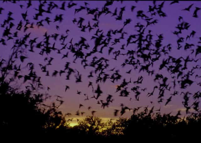 austin-bats-bridge-640px-457px-13