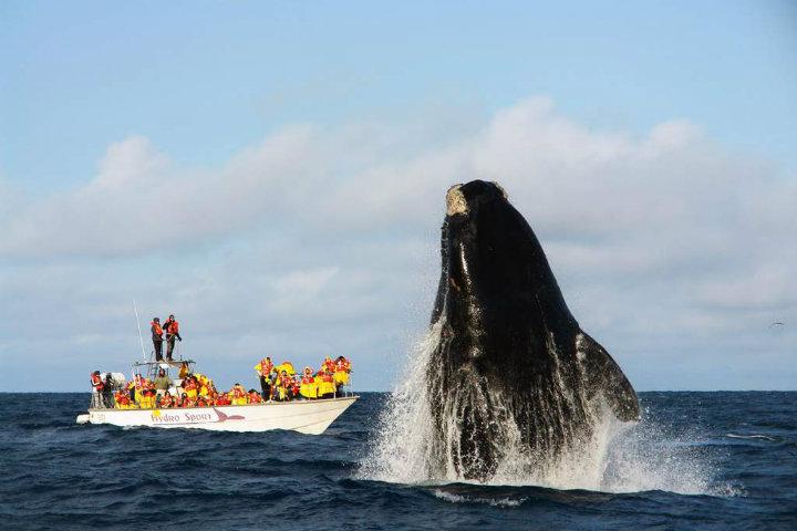 La-temporada-de-ballenas-en-Argentina-es-espectacular.-Foto:-La-prensa-NH.-4