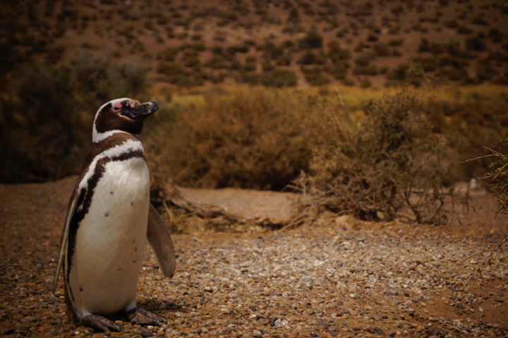Los pingüinos de Magallanes también podrían amenizar la vista en tu visita a Puerto Valdés Foto natalia congregado