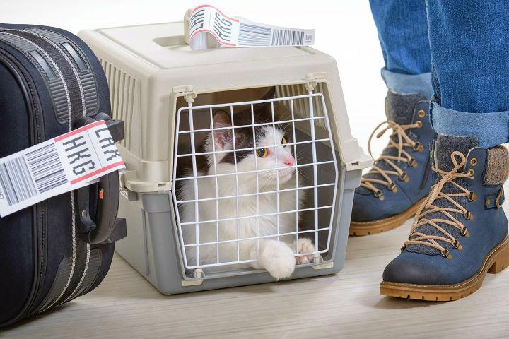 Tal vez sea mucho más fácil que tu bello gatito esté contigo en la cabina por su tamaño Foto Tavel Weekly