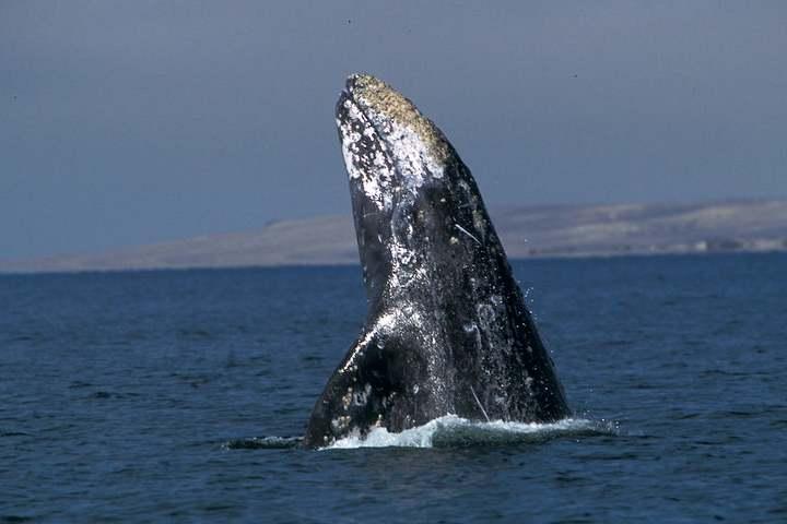 ballena gris